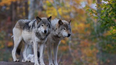 Two wolves on a rock in the forest